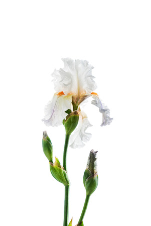 iris isolated on white Reklamní fotografie - 109274273