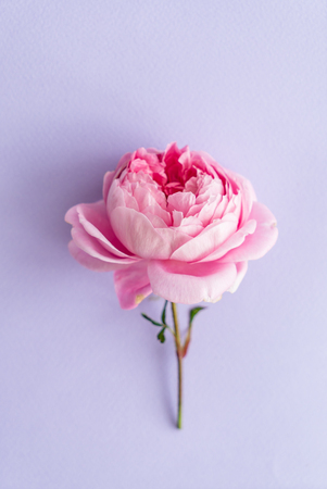 nice pink roses Stock Photo