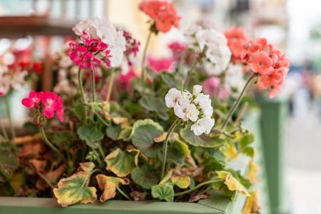geranium flowers closeup