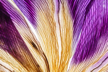 iris petals closeup Archivio Fotografico - 112539120