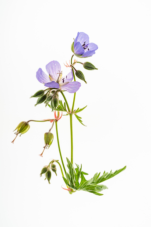geranium flower isolated Banque d'images