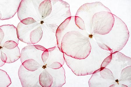 Hydrangea petals isolated