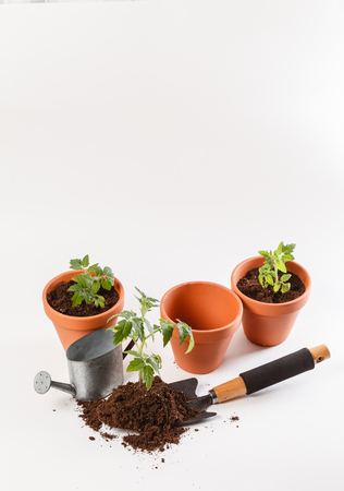 Young tomato seedling in a clay pot Фото со стока
