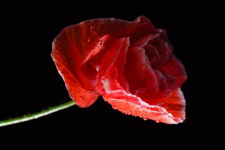Poppy flower on the black