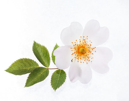 Wild roses on the white Stock Photo