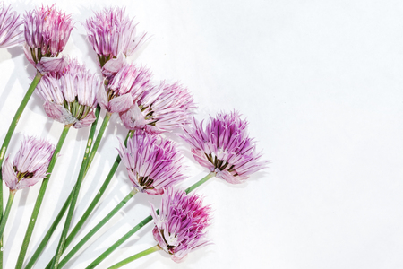 Onion flowers on the white