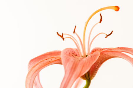 nice lily on the white background - image