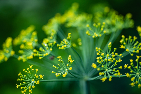 Close up of blooming dill flowers in kitchen garden photo - Image
