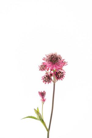 Great masterwort flowers (Astrantia major) isolated on the white background Banque d'images