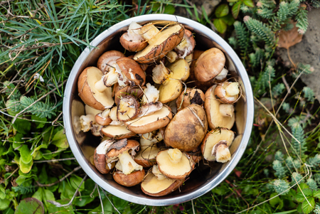 fresh edible forest mushrooms in the bowl, Suillus luteus and Boletus edulis