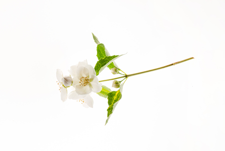 White jasmine flowers with green leaves isolated on white background Stock Photo
