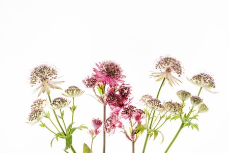 Great masterwort flowers (Astrantia major) isolated on the white background Stock Photo