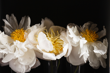 peony on the black background