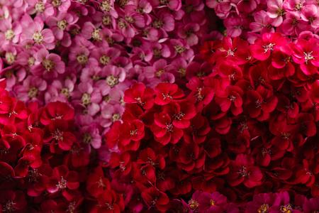 flowers of yarrow on dramatic black background Stock Photo