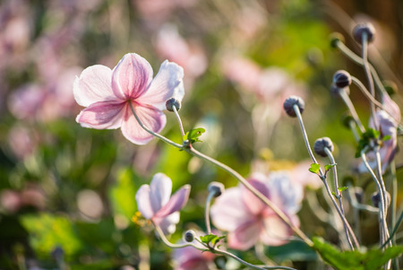japanese anemone flowers in the garden