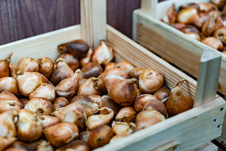 Preparation for spring season in garden, pink tulips and yellow daffodils bulbs in the boxes