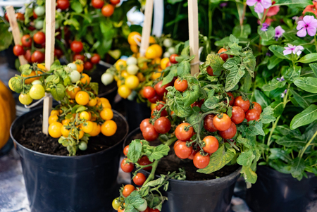 small cherry tomato plants in the pots 版權商用圖片
