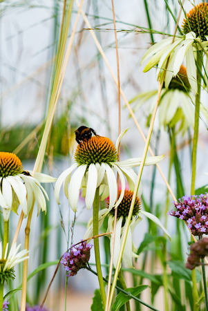 Echinacea purpurea (White Swan) - beautiful flowers with bees