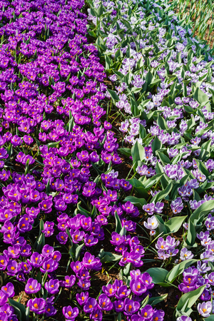 Crocus flowers closeup 스톡 콘텐츠