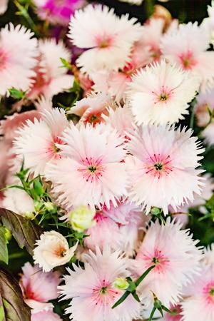 Carnation flower in the garden Zdjęcie Seryjne