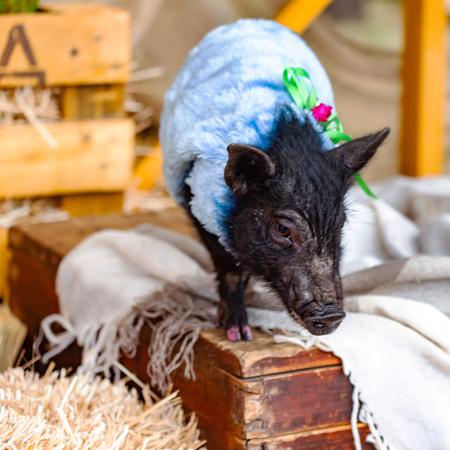 Cute piglet of mini pig portrait