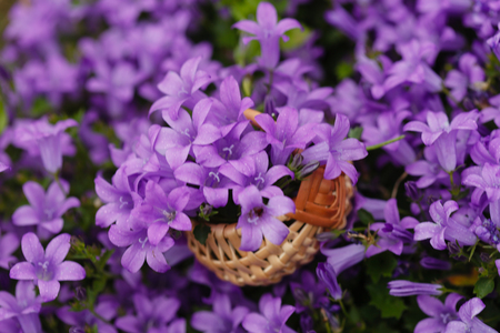 Bluebell flowers in basket