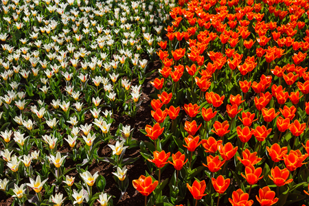 Tulips field in the park