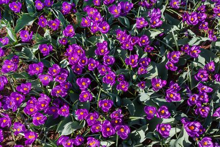 Nice crocuses field flowers
