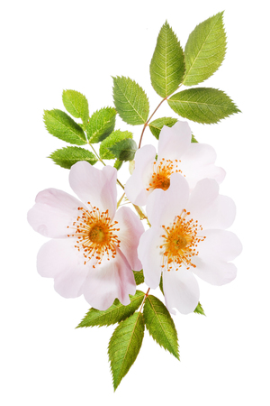 Wild roses with leaves on the white