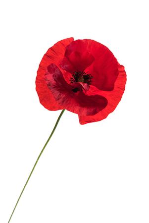 Poppy flower on the white