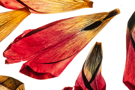 Dried tulip petals on the white