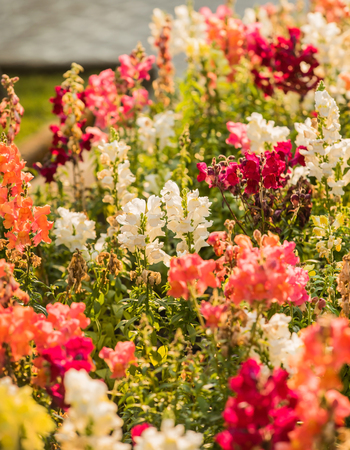 colourful snapdragon flowers in the garden Stock Photo