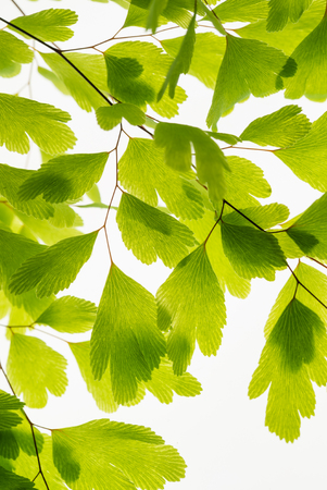 Green leaves on branch isolated on white