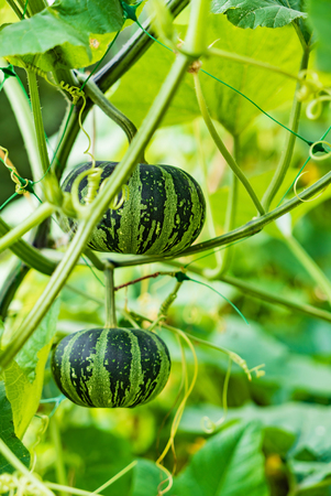 Small decorative pumpkins in the garden