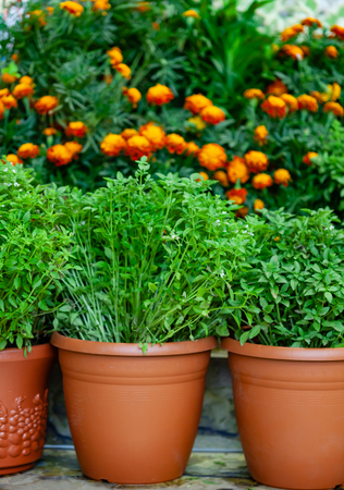 herbs in the pots