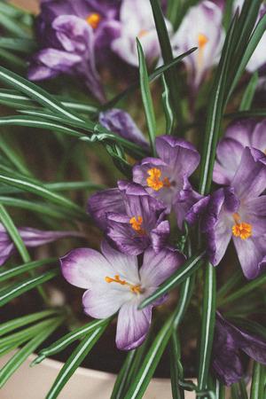 crocus flowers in the pot
