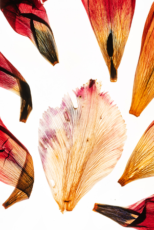 dried tulip petals on the white background