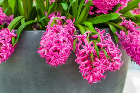 bright hyacinth flowers