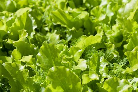 lettuce in the garden Zdjęcie Seryjne - 121466500