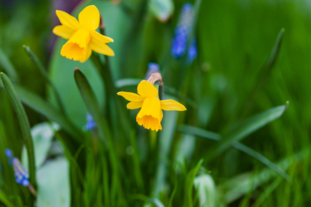 narcissus flwoers  and muscari flowers
