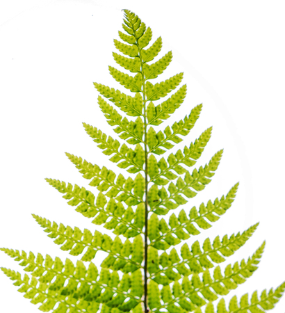 fern leaf isolated on the white