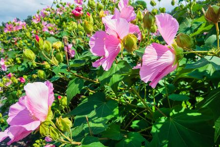 hibiscus flowers in the garden