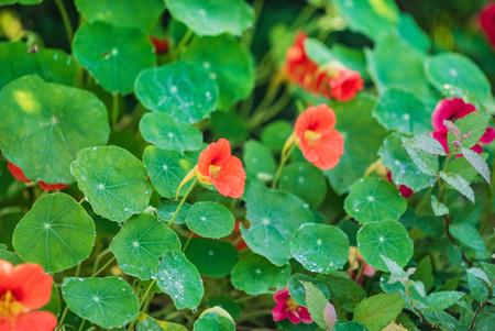 nasturtium flowers in the garden