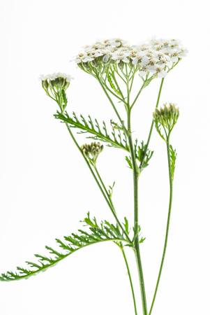 yarrow flower isolated on the white