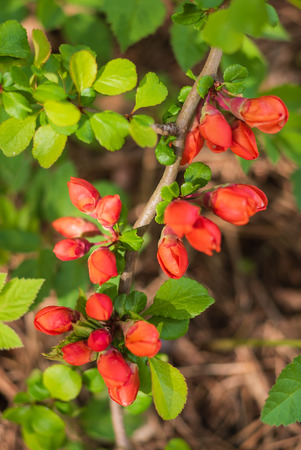A twig of Japanese quince with flowers.