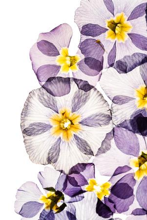 dry primrose flowers 版權商用圖片 - 123768713