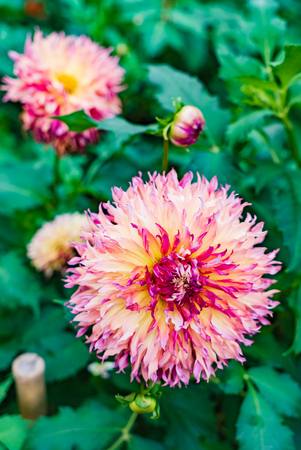 Beautiful dahlias in the garden