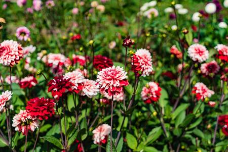 Beautiful dahlias in the garden
