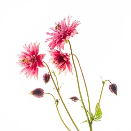 Aquilegia flower on the white Stock Photo