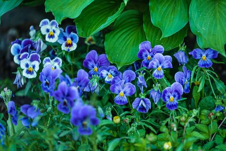 Blue pansy flowers in the garden